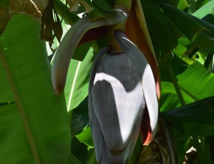 Irrigation for Tropical Fruit